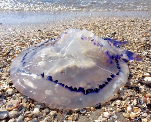 picadura de medusa