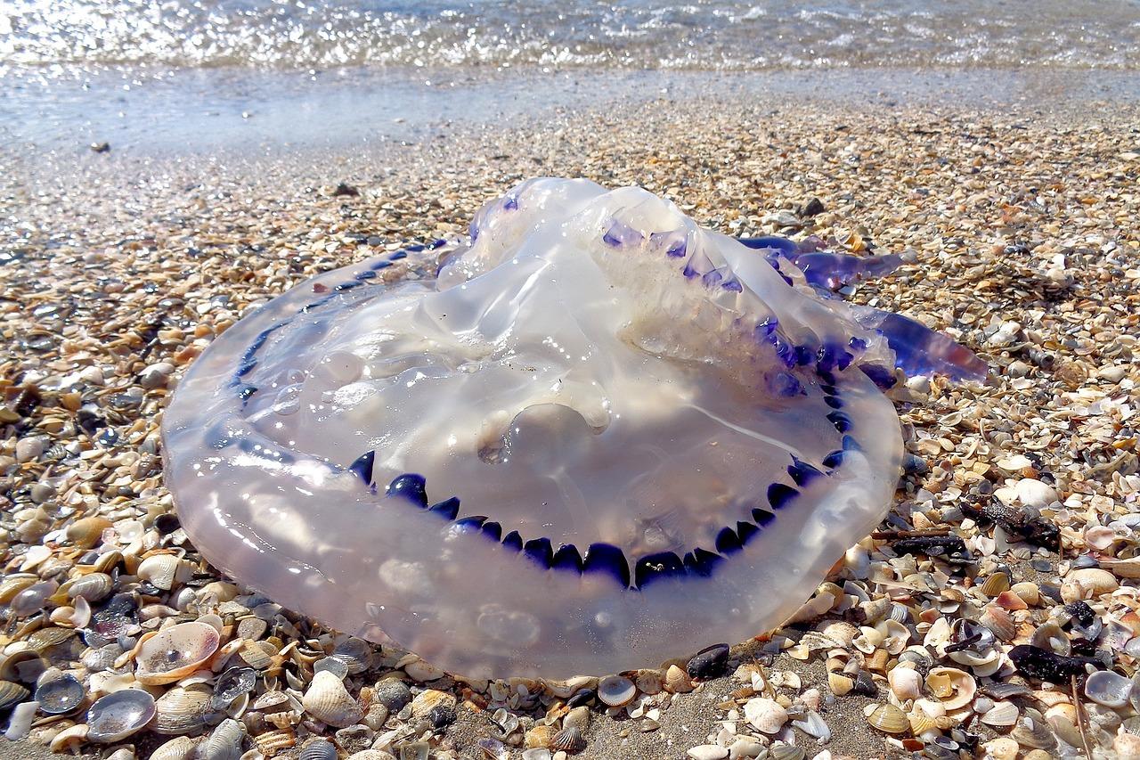 Picaduras de medusa s ntomas y tratamiento seguros afemefa - Como se alimentan las medusas ...